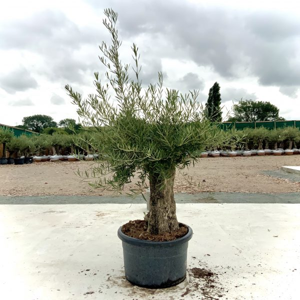 """C374 Individual Gnarled Olive Tree XXL """"Summer Deal"""" - IMG 8491 scaled"""