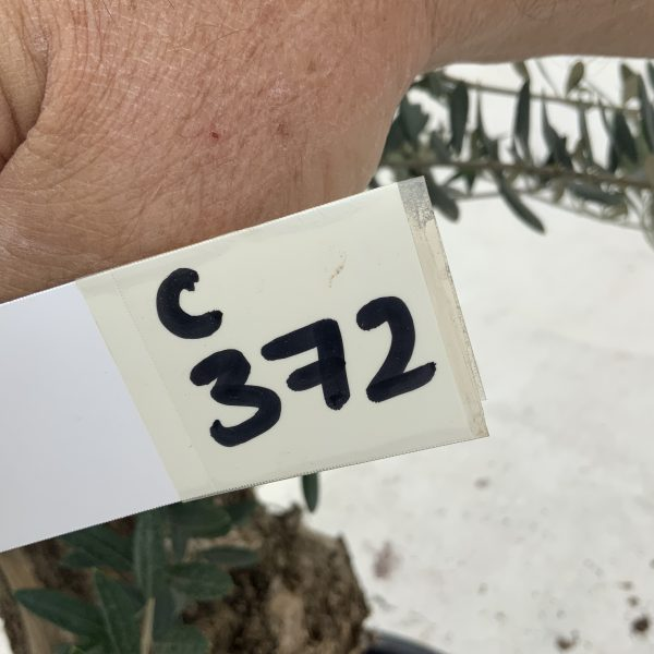 """C372 Individual Gnarled Olive Tree XXL """"Summer Deal"""" - IMG 8498 1 scaled"""