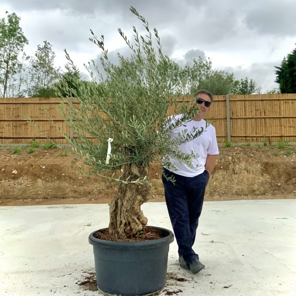 """C372 Individual Gnarled Olive Tree XXL """"Summer Deal"""" - IMG 8499 1 scaled"""