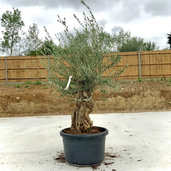 """C372 Individual Gnarled Olive Tree XXL """"Summer Deal"""" - IMG 8500 1 scaled"""
