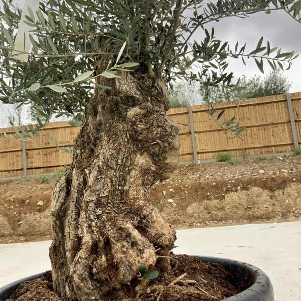 """C372 Individual Gnarled Olive Tree XXL """"Summer Deal"""" - IMG 8501 1 scaled"""