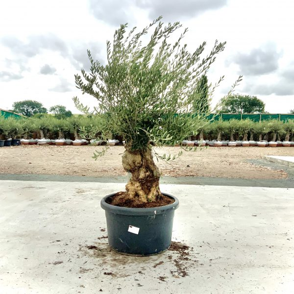 """C372 Individual Gnarled Olive Tree XXL """"Summer Deal"""" - IMG 8502 1 scaled"""