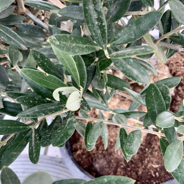 """C372 Individual Gnarled Olive Tree XXL """"Summer Deal"""" - IMG 8503 1 scaled"""