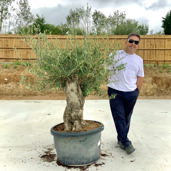 """C371 Individual Gnarled Olive Tree XXL """"Summer Deal"""" - IMG 8505 2 scaled"""