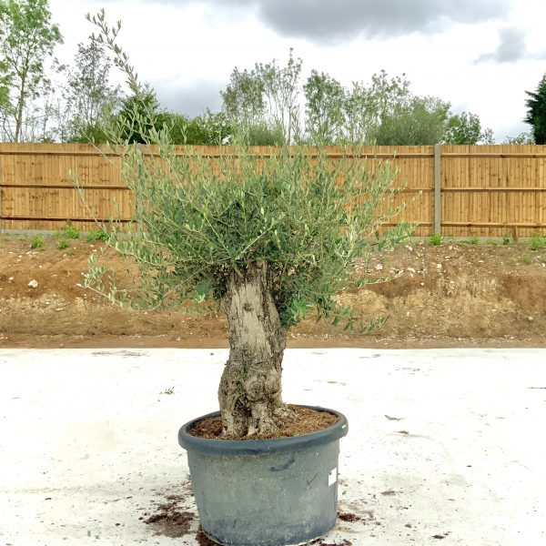 """C371 Individual Gnarled Olive Tree XXL """"Summer Deal"""" - IMG 8506 2 scaled"""