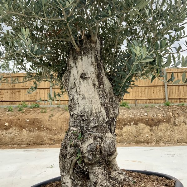 """C371 Individual Gnarled Olive Tree XXL """"Summer Deal"""" - IMG 8507 2 scaled"""