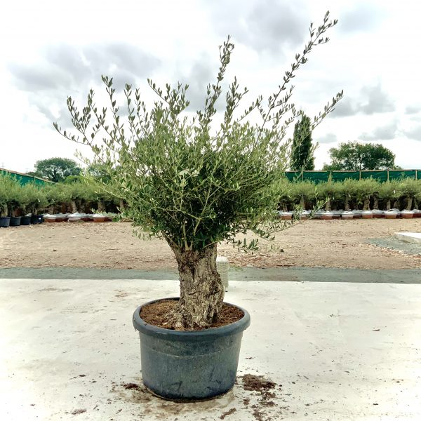 """C371 Individual Gnarled Olive Tree XXL """"Summer Deal"""" - IMG 8508 2 scaled"""