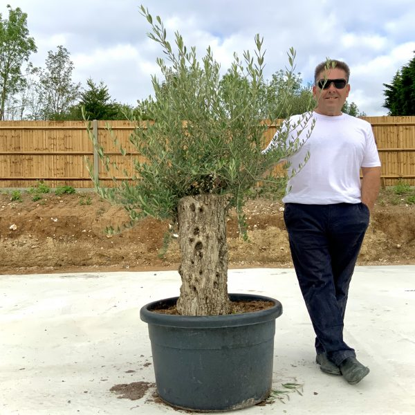 """C366 Individual Gnarled Olive Tree XXL """"Summer Deal"""" - IMG 8529 scaled"""