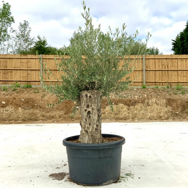 """C366 Individual Gnarled Olive Tree XXL """"Summer Deal"""" - IMG 8530 scaled"""