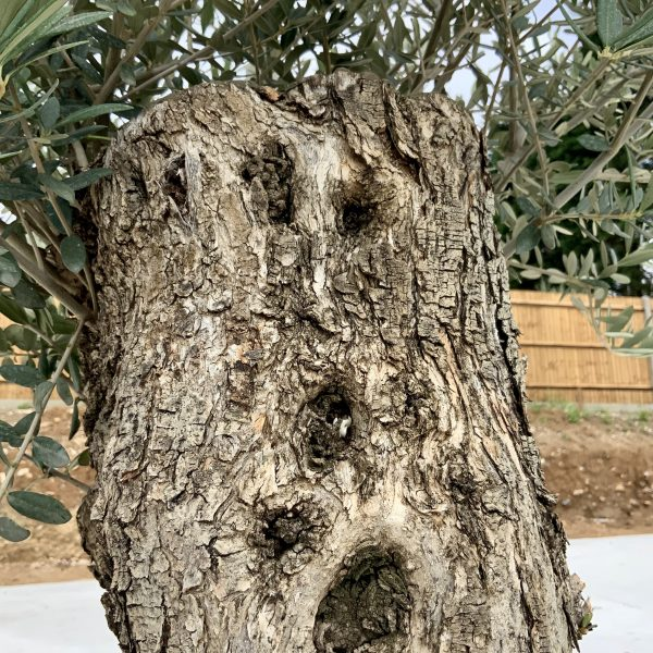 """C366 Individual Gnarled Olive Tree XXL """"Summer Deal"""" - IMG 8531 scaled"""