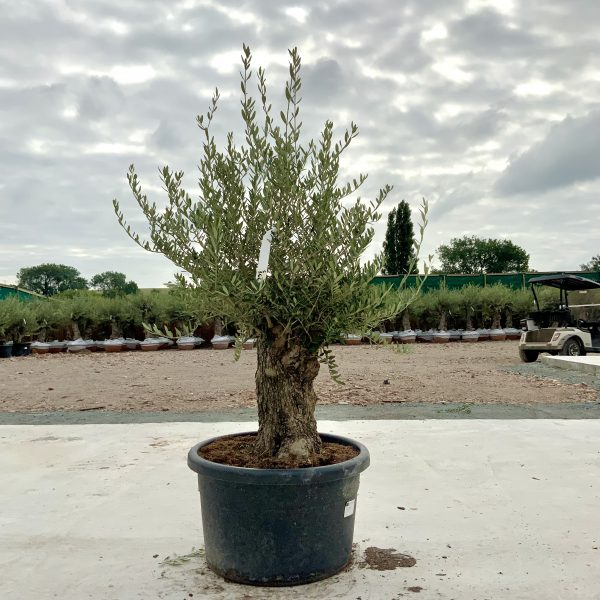 """C366 Individual Gnarled Olive Tree XXL """"Summer Deal"""" - IMG 8532 scaled"""