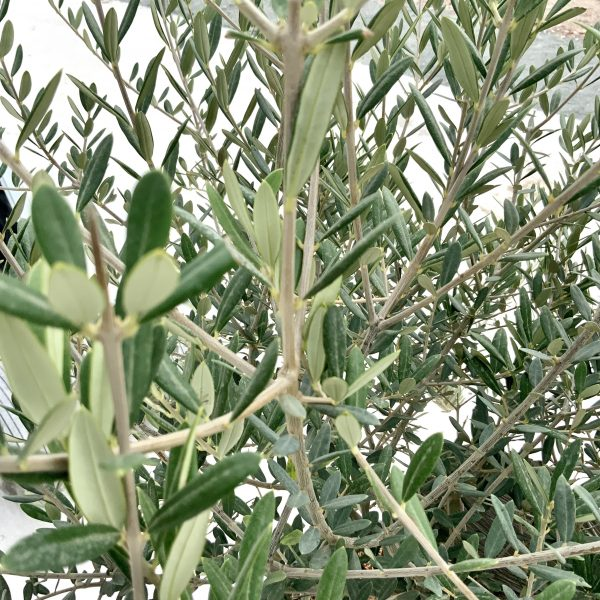 """C366 Individual Gnarled Olive Tree XXL """"Summer Deal"""" - IMG 8533 scaled"""