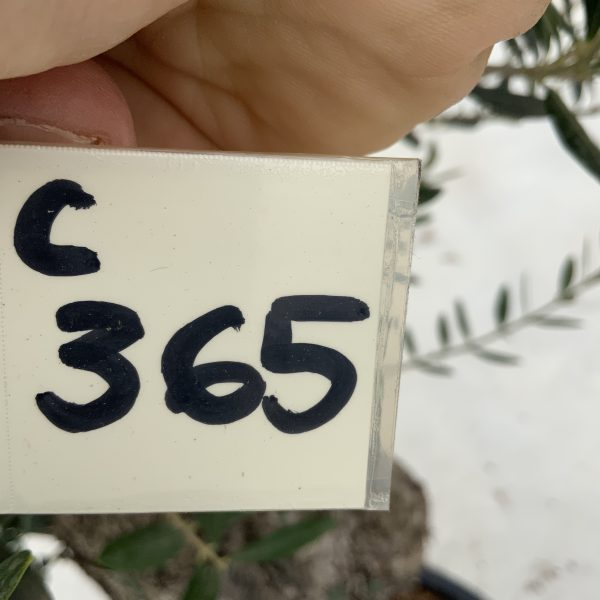 """C365 Individual Gnarled Olive Tree XXL """"Summer Deal"""" - IMG 8534 scaled"""