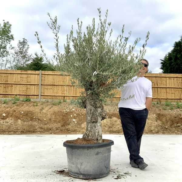 """C365 Individual Gnarled Olive Tree XXL """"Summer Deal"""" - IMG 8535 scaled"""