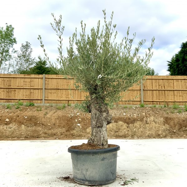 """C365 Individual Gnarled Olive Tree XXL """"Summer Deal"""" - IMG 8536 scaled"""