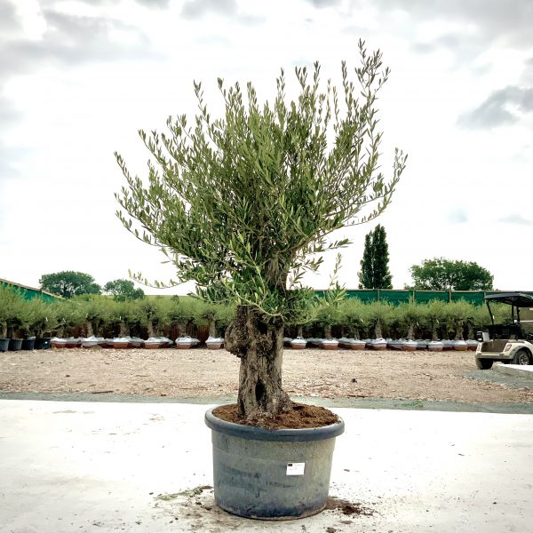 """C365 Individual Gnarled Olive Tree XXL """"Summer Deal"""" - IMG 8538 scaled"""