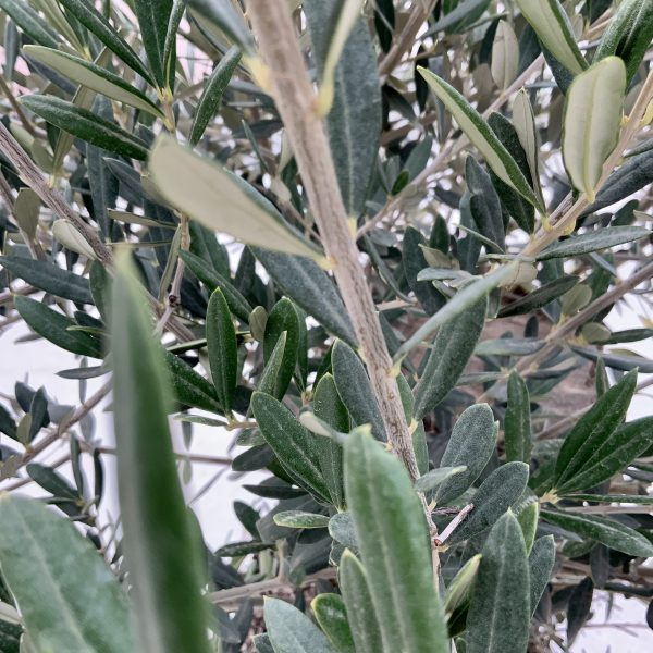 """C365 Individual Gnarled Olive Tree XXL """"Summer Deal"""" - IMG 8539 scaled"""