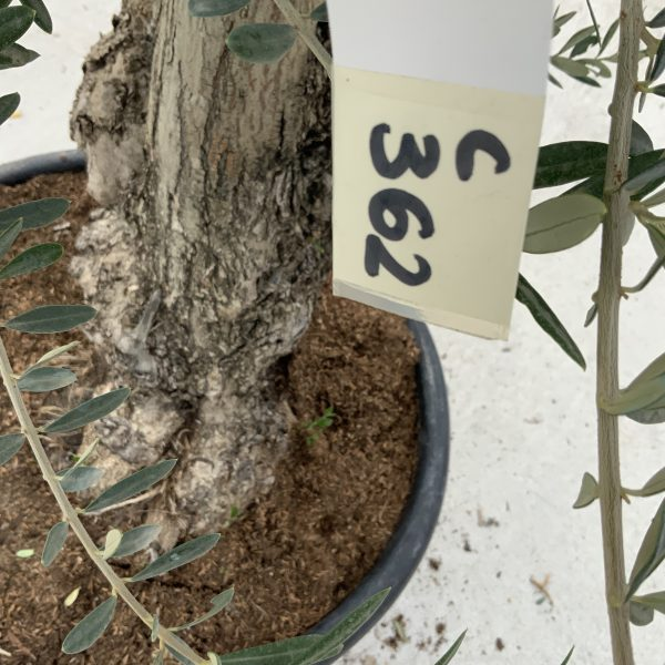 """C362 Individual Gnarled Olive Tree XXL """"Summer Deal"""" - IMG 8552 scaled"""