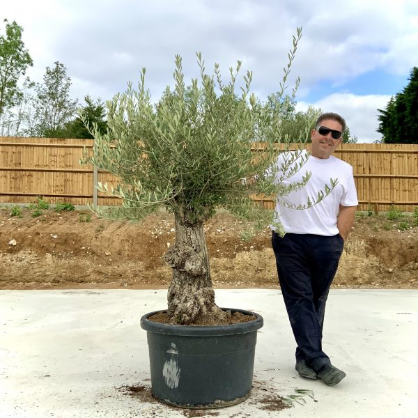 """C362 Individual Gnarled Olive Tree XXL """"Summer Deal"""" - IMG 8553 scaled"""