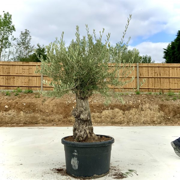 """C362 Individual Gnarled Olive Tree XXL """"Summer Deal"""" - IMG 8554 scaled"""