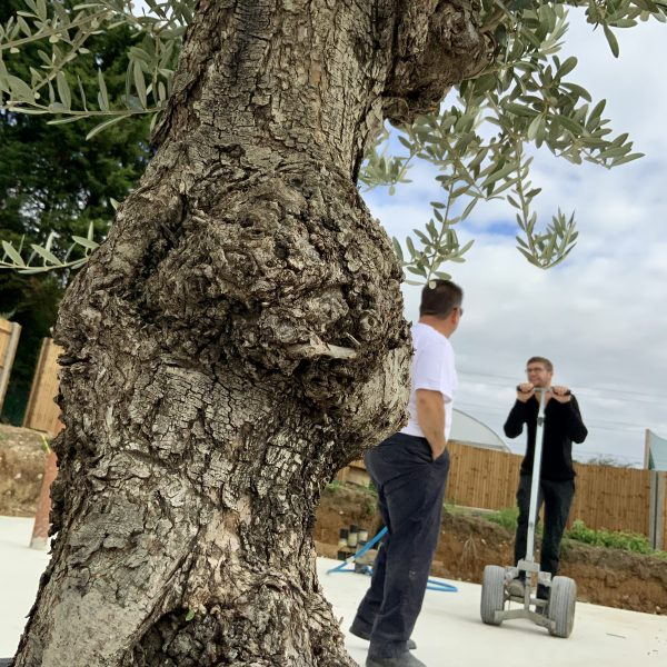 """C362 Individual Gnarled Olive Tree XXL """"Summer Deal"""" - IMG 8555 scaled"""