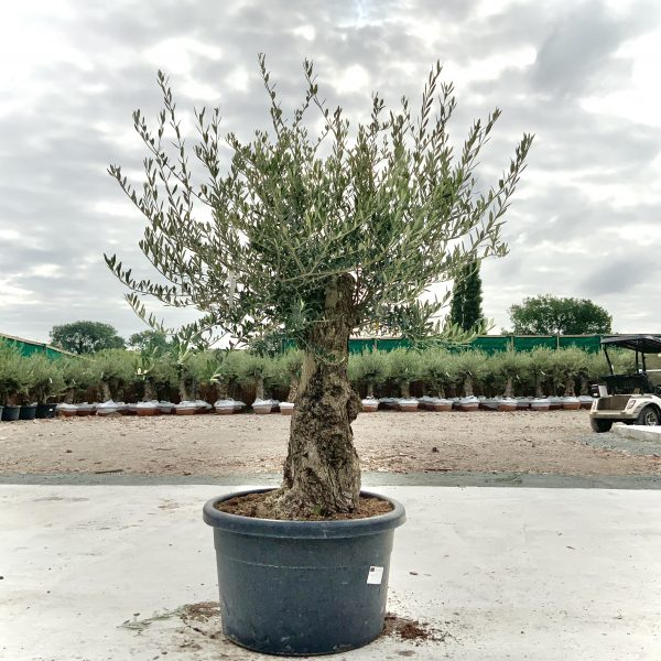 """C362 Individual Gnarled Olive Tree XXL """"Summer Deal"""" - IMG 8556 scaled"""