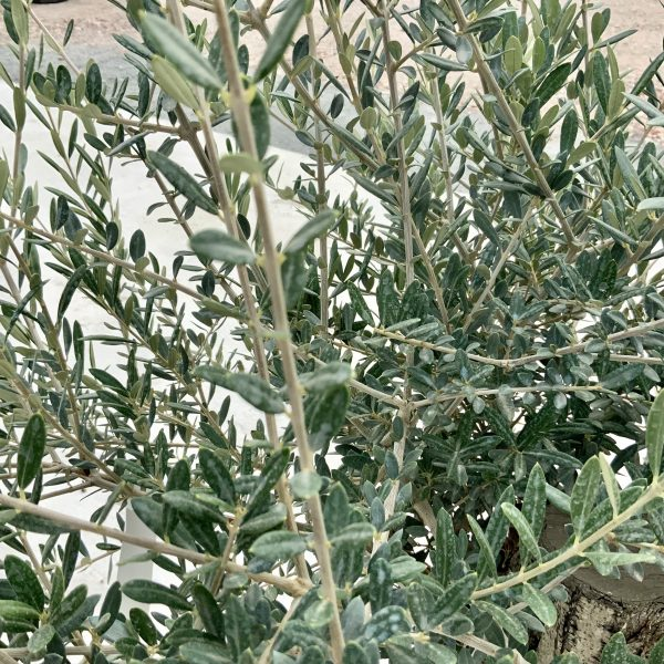 """C362 Individual Gnarled Olive Tree XXL """"Summer Deal"""" - IMG 8557 scaled"""