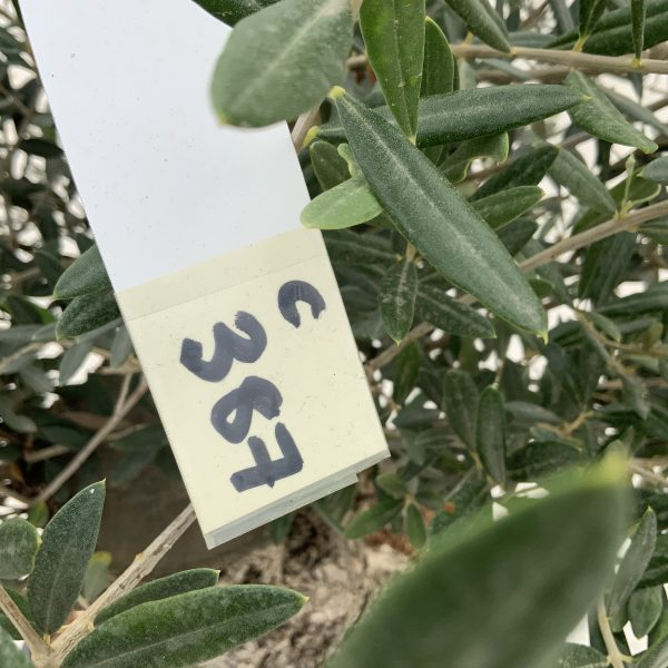 """C387 Individual Gnarled Olive Tree XXL """"Summer Deal"""" - IMG 8564 scaled"""