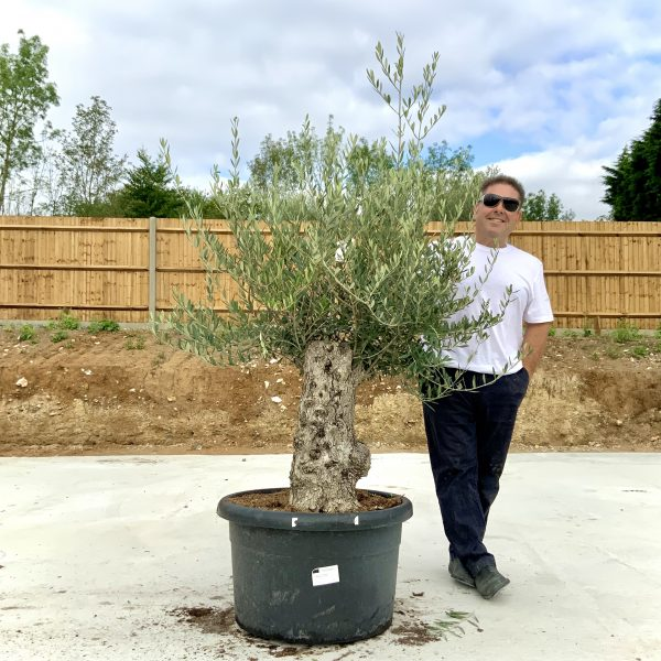 """C387 Individual Gnarled Olive Tree XXL """"Summer Deal"""" - IMG 8565 scaled"""