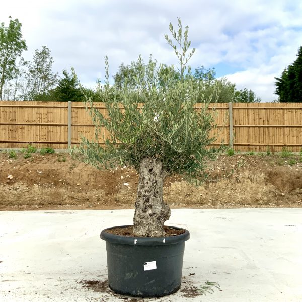 """C387 Individual Gnarled Olive Tree XXL """"Summer Deal"""" - IMG 8566 scaled"""