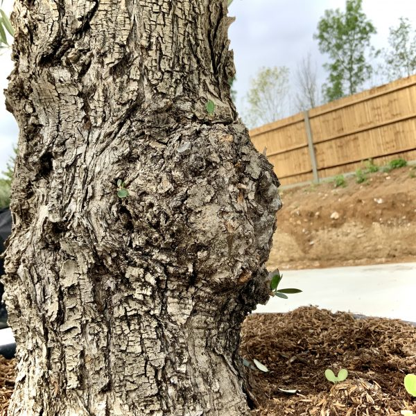 """C387 Individual Gnarled Olive Tree XXL """"Summer Deal"""" - IMG 8567 scaled"""