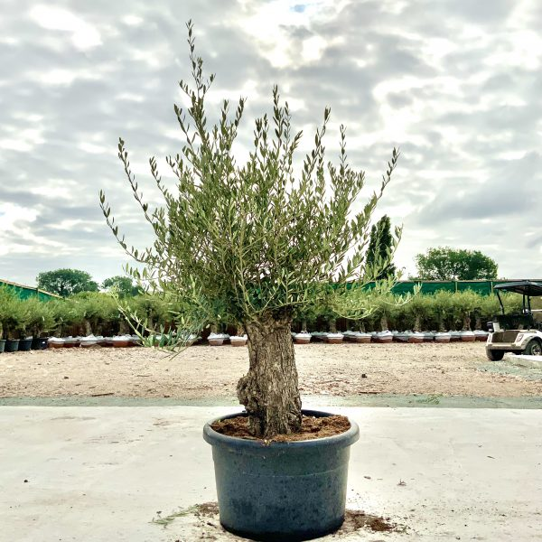"""C387 Individual Gnarled Olive Tree XXL """"Summer Deal"""" - IMG 8568 scaled"""