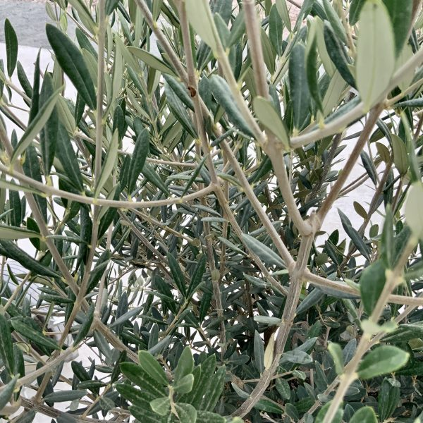 """C387 Individual Gnarled Olive Tree XXL """"Summer Deal"""" - IMG 8569 scaled"""