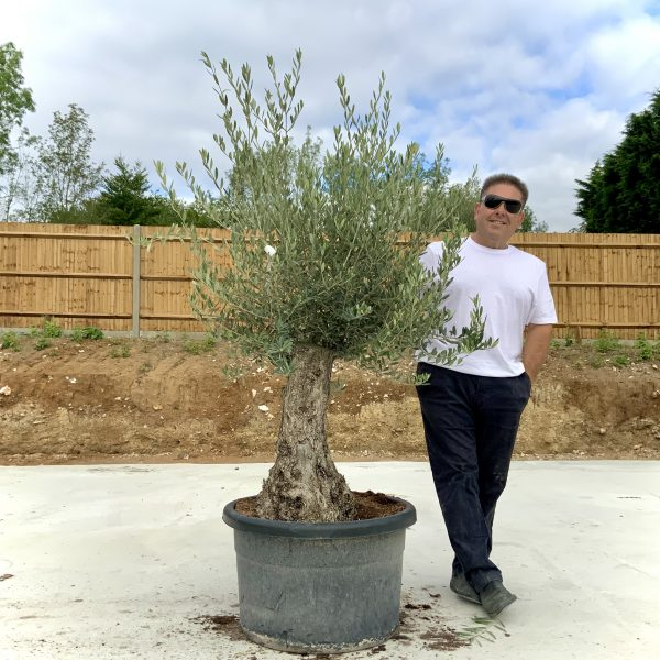 """C386 Individual Gnarled Olive Tree XXL """"Summer Deal"""" - IMG 8571 scaled"""