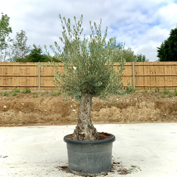 """C386 Individual Gnarled Olive Tree XXL """"Summer Deal"""" - IMG 8572 scaled"""