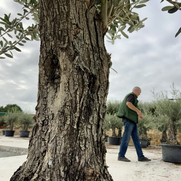 """C386 Individual Gnarled Olive Tree XXL """"Summer Deal"""" - IMG 8573 scaled"""