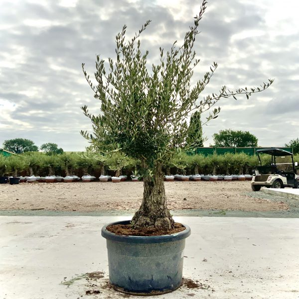 """C386 Individual Gnarled Olive Tree XXL """"Summer Deal"""" - IMG 8574 scaled"""