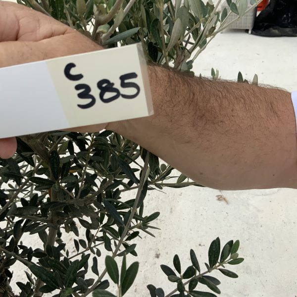 """C385 Individual Gnarled Olive Tree XXL """"Summer Deal"""" - IMG 8578 scaled"""