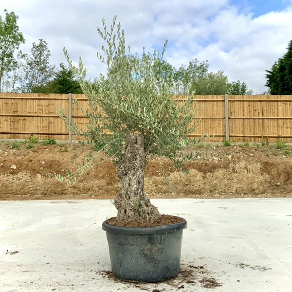 """C385 Individual Gnarled Olive Tree XXL """"Summer Deal"""" - IMG 8580 scaled"""
