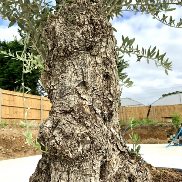 """C385 Individual Gnarled Olive Tree XXL """"Summer Deal"""" - IMG 8581 scaled"""