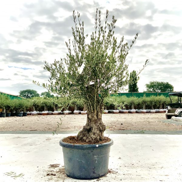"""C385 Individual Gnarled Olive Tree XXL """"Summer Deal"""" - IMG 8582 scaled"""