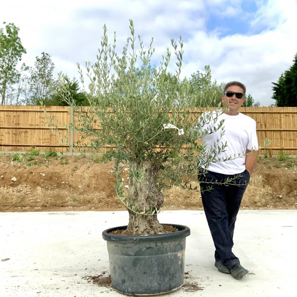 """C383 Individual Gnarled Olive Tree XXL """"Summer Deal"""" - IMG 8584 scaled"""