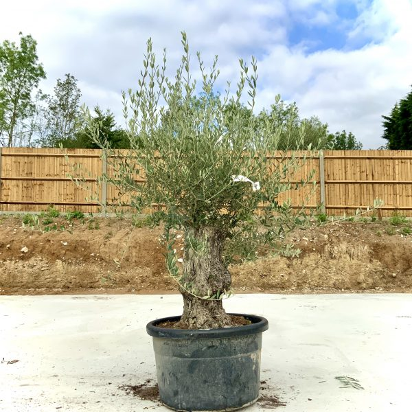 """C383 Individual Gnarled Olive Tree XXL """"Summer Deal"""" - IMG 8585 scaled"""