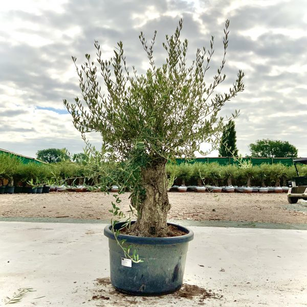 """C383 Individual Gnarled Olive Tree XXL """"Summer Deal"""" - IMG 8587 scaled"""