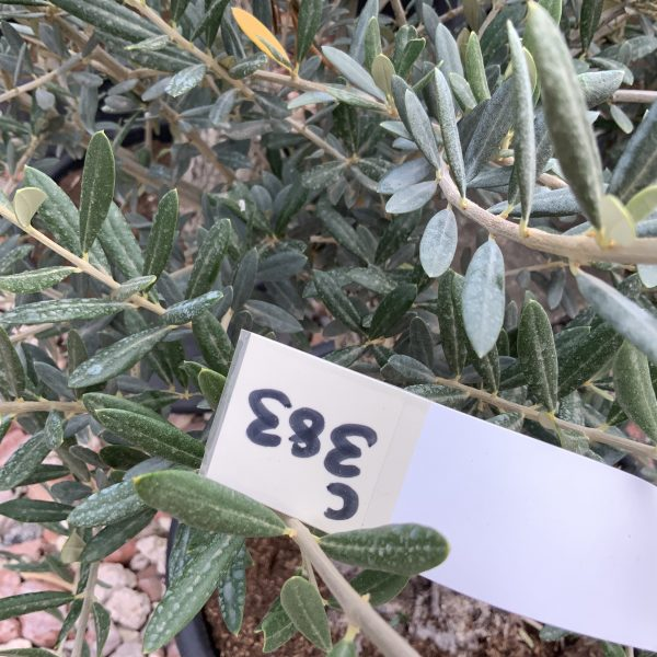 """C383 Individual Gnarled Olive Tree XXL """"Summer Deal"""" - IMG 8589 scaled"""