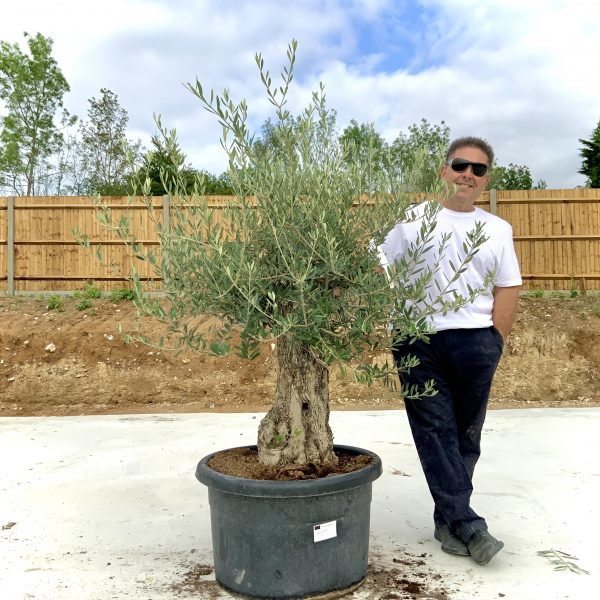 """C382 Individual Gnarled Olive Tree XXL """"Summer Deal"""" - IMG 8591 scaled"""