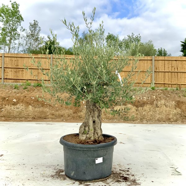 """C382 Individual Gnarled Olive Tree XXL """"Summer Deal"""" - IMG 8592 scaled"""