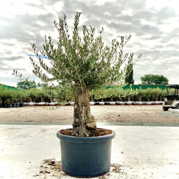 """C382 Individual Gnarled Olive Tree XXL """"Summer Deal"""" - IMG 8594 scaled"""