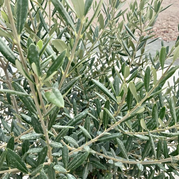 """C382 Individual Gnarled Olive Tree XXL """"Summer Deal"""" - IMG 8595 scaled"""
