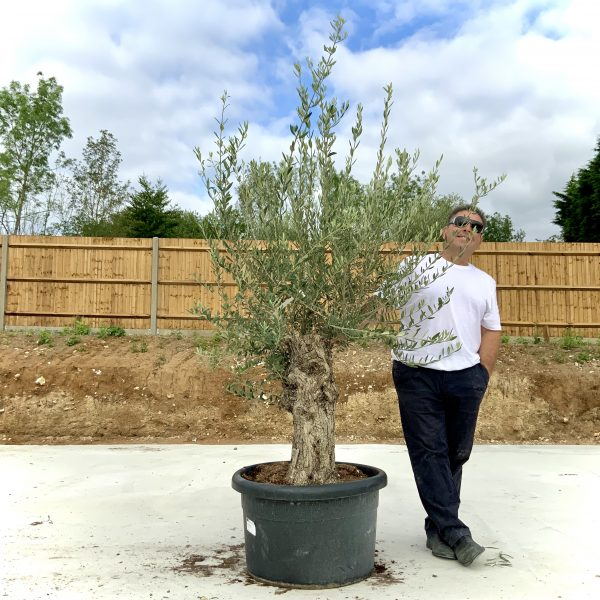 """C381 Individual Gnarled Olive Tree XXL """"Summer Deal"""" - IMG 8597 scaled"""